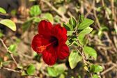 Hibiscus flower — Foto Stock