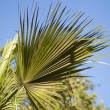 Palm — Stock Photo #32472115