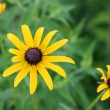 Black-eyed susan flowers — Stockfoto