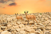 Ibexes and sunset — Stock Photo