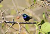 Sunbird palestina — Foto Stock
