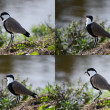 Sets spur-winged lapwing — Stock Photo