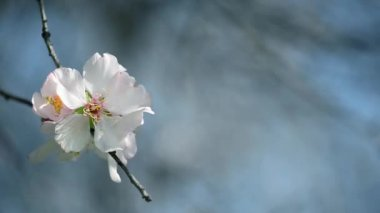 Almond flower on a blue background — Stock Video