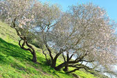 Old almond tree — Stock Photo