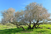 Old almond tree in bloom — Stock Photo
