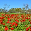 Field of red flowers — Stock Photo