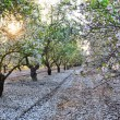 Almond garden in fading sun beams — Stock Photo