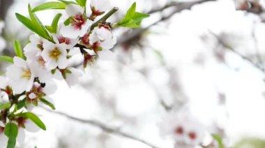 Lindo ramo de amêndoa — Vídeo stock