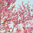 Natural pattern of flowers Judas tree — Stock Photo #21778365