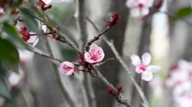 Flowering plum tree — Stock Video