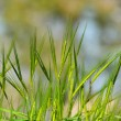 Green wheat ears — Stock Photo