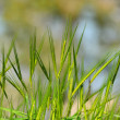 Stock Photo: Green wheat ears