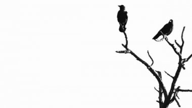 Silhouette of two crows in a tree — Stock Video