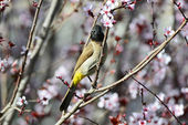 Schöne vogel bulbul — Stockfoto