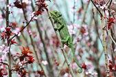 Chamaeleo chamaeleon — Foto de Stock