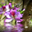 Stock Photo: Flower Bauhiniand simulation of water