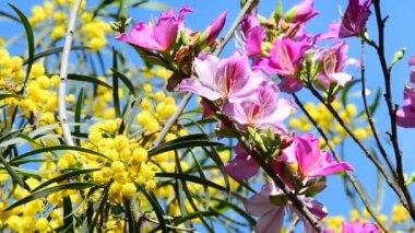 含羞草和洋紫荆 — 图库视频影像