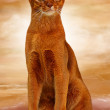 Abyssinian cat sorrel color — Stock Photo