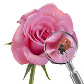 Ladybug is under the magnifying glass on rose — Stock Vector