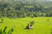 Thatched hut amongst farm crops — Foto Stock