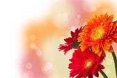 Three colourful Gerbera daisies with bokeh — Stock Photo
