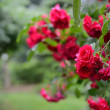 Red roses  — Stock Photo #27573335