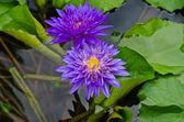 紫莲花 — 图库照片