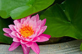 Big Pink Lotus — Stock Photo