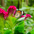Butterfly sucking nectar from a flower — Stockfoto