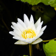 Stock Photo: Bright White Water Lily