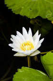 Bright White Water Lily — 图库照片