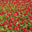 图库照片: Red flower plant field