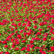 Red flower plant field — Foto de Stock