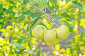 Green apples on a tree — Stock Photo