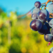 Stock Photo: Grapes and vineyard