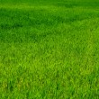 Green grass — Stock Photo #25079631