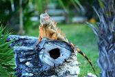 Iguana — Zdjęcie stockowe
