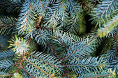 Fir branches — Foto Stock
