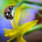 Red ladybug — Stock Photo #43352027