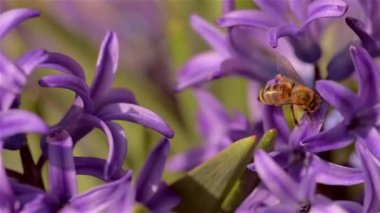 Purple hyacinth — Stockvideo