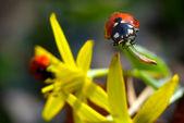 červená beruška — Stock fotografie