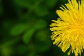 Dente de leão amarelo — Foto Stock