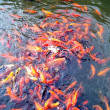 Постер, плакат: Goldfish play in the lake