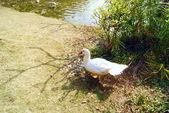 Patos no lazer — Foto Stock