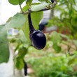 Eggplant is growing in the field  — Foto Stock
