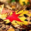 Red and yellow maple leaf on dry leaves — Stock Photo #14560309
