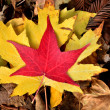 Yellow and red maple leaves, autumn — Stock Photo