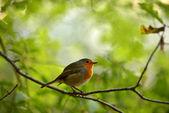 Robin bird on branch dry — 图库照片