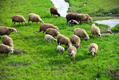 Sheep and lambs grazing in the meadow on the edge of the water — Stock Photo