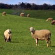 Sheep on pasture eating grass — Stock Photo